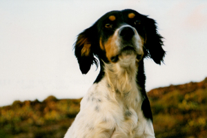 cane pantesco