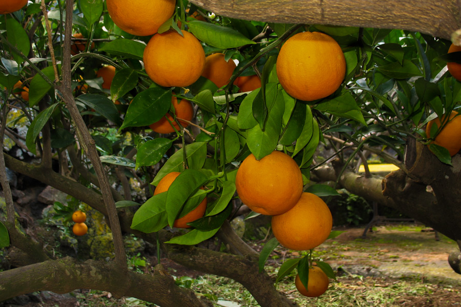 Le mie piante giardini di pantelleria for Elenco alberi da frutto
