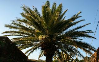 Giardini di Pantelleria - Palma